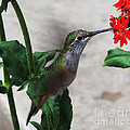 Hummingbird Feeding by Greg Plamp