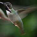 Hummingbird Male Anna In Flight Over Perch by Jay Milo