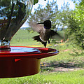 Hummingbird Flying To The Feeder by C Zajicek