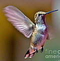 Hummingbird Frolic by Janice Pariza