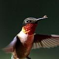 Hummingbird - Hitching A Ride - Ruby-throated Hummingbird by Travis Truelove