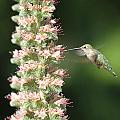 Hummingbird In Burbank Garden by CJ McKendry