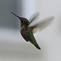 Hummingbird In Flight by Carol Groenen