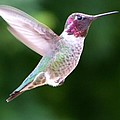 Hummingbird In Flight by Mary Deal
