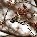 Hummingbird In Spring by J McCombie
