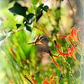 Hummingbird In The Daylilies by Carol Groenen