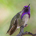 Hummingbird Male Costa by Michael Moriarty