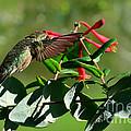Hummingbird Morning by Debbie Portwood