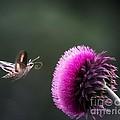 Hummingbird Moth by Barbara Chichester