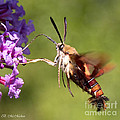 Hummingbird Moth by Barbara McMahon