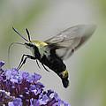 Hummingbird Moth by Bradford Martin