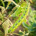 Hummingbird Moth Caterpillar by Bill Pevlor