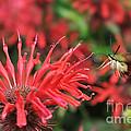 Hummingbird Moth Feeding On Red Flower by Dan Friend