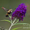 Hummingbird Moth Iv by Douglas Stucky