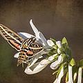 Hummingbird Moth by Jeff Swanson