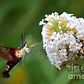 Hummingbird Moth by Kathy Gibbons