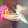 Hummingbird Moth by Kume Bryant