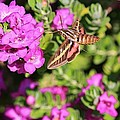 Hummingbird Moth by Marcia Breznay