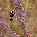 Hummingbird Moth On Russian Sage by Mel Hensley