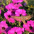 Hummingbird Moth by Renee Croushore