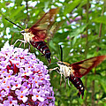 Hummingbird Moths by Duane McCullough