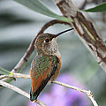 Hummingbird On A Branch by Diana Haronis