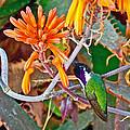 Hummingbird On Aloe In Living Desert In Palm Desert-california by Ruth Hager
