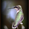 Hummingbird Photo - Side View by Travis Truelove