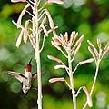 Hummingbird Pink Green - Floating Hummingbird Flashes Red by Wayne Nielsen