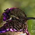 Hummingbird Portrait by Robert Bales