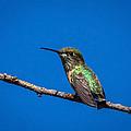 Hummingbird Posing by Ernie Echols