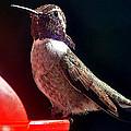 Hummingbird Posing On Perch by Jay Milo