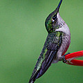 Hummingbird Profile by Amy Porter