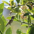 Hummingbird by Robert Phelan