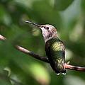 Hummingbird - Ruby-throated Hummingbird - Detail by Travis Truelove