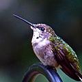 Hummingbird Sentry by Jean Wright