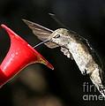 Hummingbird Sigh by Carol Groenen