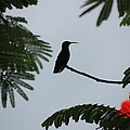 Hummingbird Silhouette by Kimberly Perry