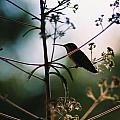 Hummingbird Silouette 2 by Cynthia Syracuse