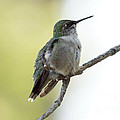 Hummingbird Sitting On A Branch by Lori Tordsen