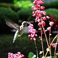 Hummingbird by Steven Baier