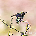 Hummingbird Stretch by Kate Brown
