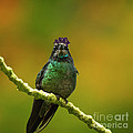 Hummingbird With A Lilac Crown by Heiko Koehrer-Wagner