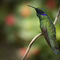 Hummingbird With Blue Mask by Penny Lisowski