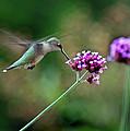 Hummingbird With Purple Verbena by Karen Adams