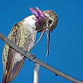 Hummingbird Yawn With Tongue by Ron D Johnson