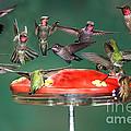 Hummingbirds by Anthony Mercieca