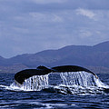 Hump Backed Whale Tail With Cascading Water by John Harmon