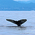 Humpback In Monterey by Steven Baier