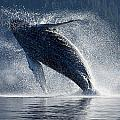 Humpback Whale Breaching In The Waters by John Hyde